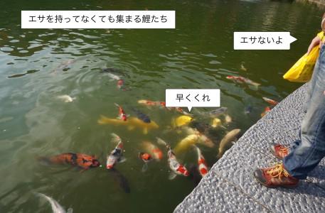鯉のエサやり